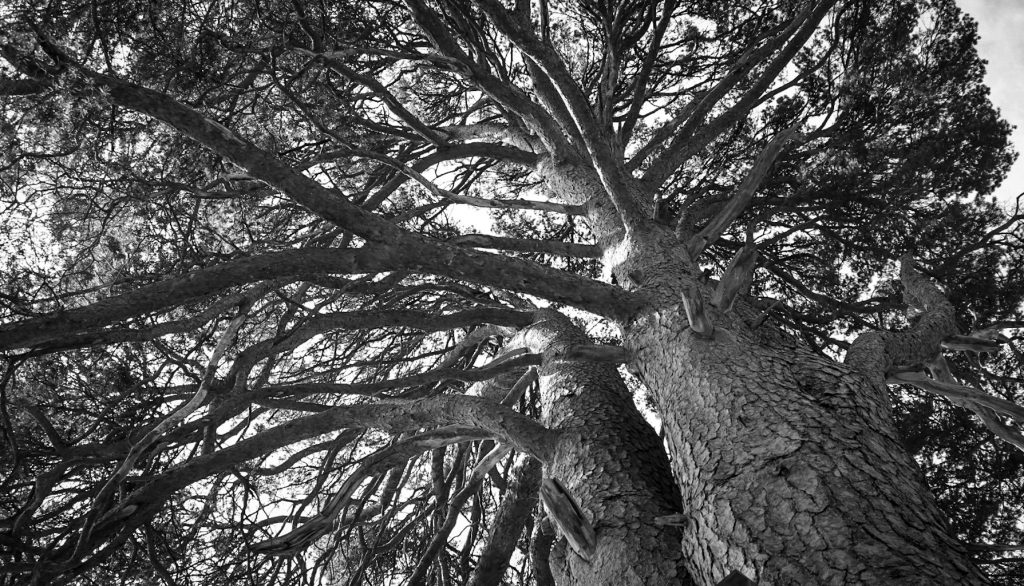 Black and white photograph looking up into a large branched tree with two thick trunks